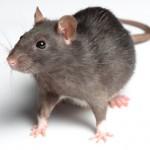 Råttpiss i väggarna